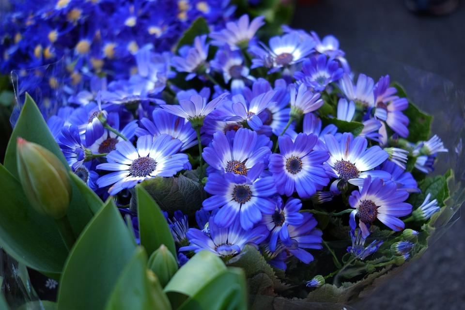 Plant, Flower, Cineraria, Blue Flowers