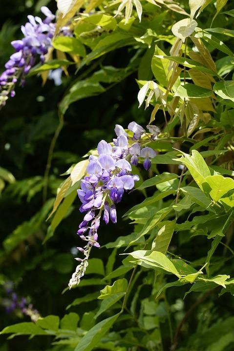 Wisteria, Blossom, Bloom, Bloom, Flower, Blue Rain