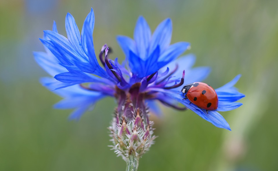 Cornflower, Ladybug, Siebenpunkt, Blue, Red, Flower