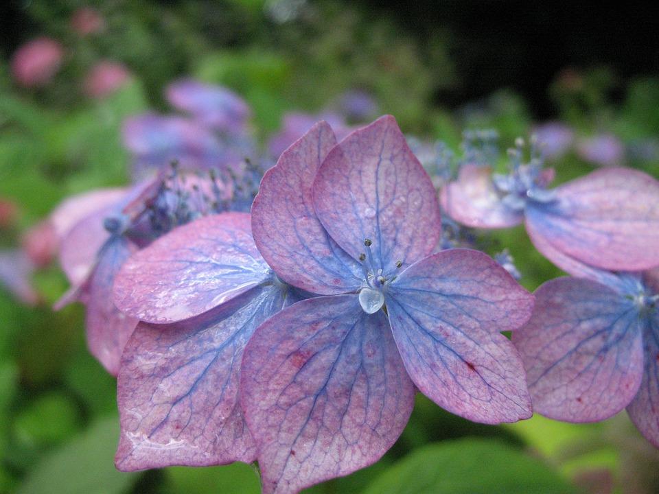 Flower, Blue, Hydrangea, Summer, Blue-purple Hydrangea