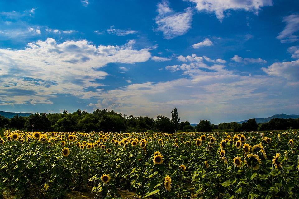 Board, Sunflower, Landscape, Summer, Virázás, Flower