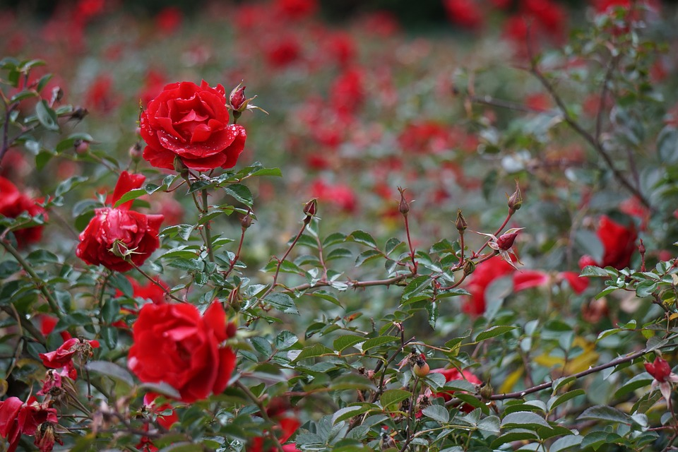 Bokeh, Florets, Roses, Red, Flower