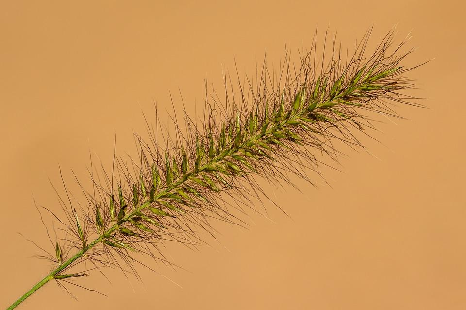 Grass, Inflorescence, Flower, Flowers, Plant, Botany