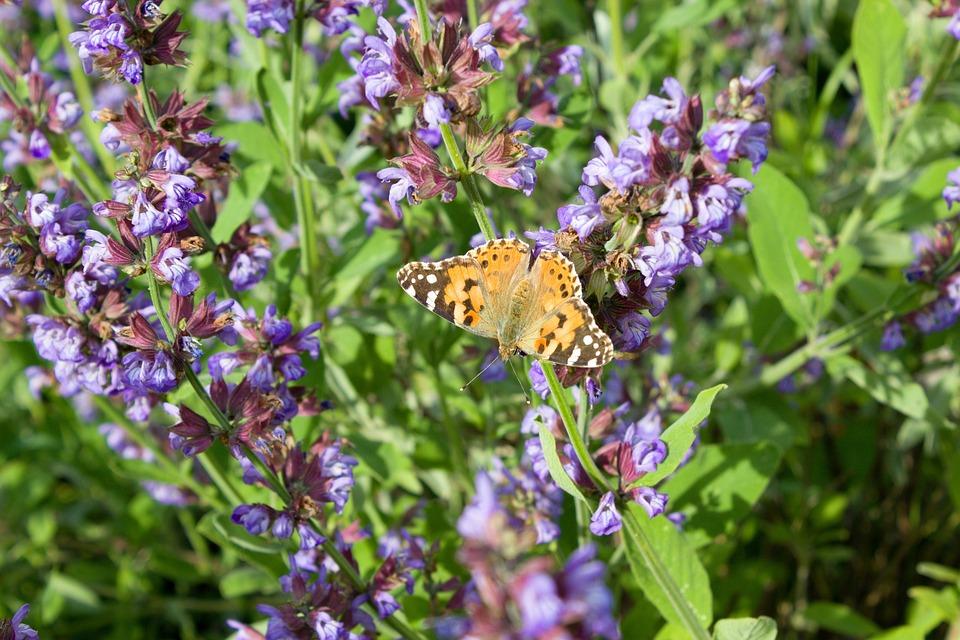Lavender, Flower, Plant, Botany, Inflorescence