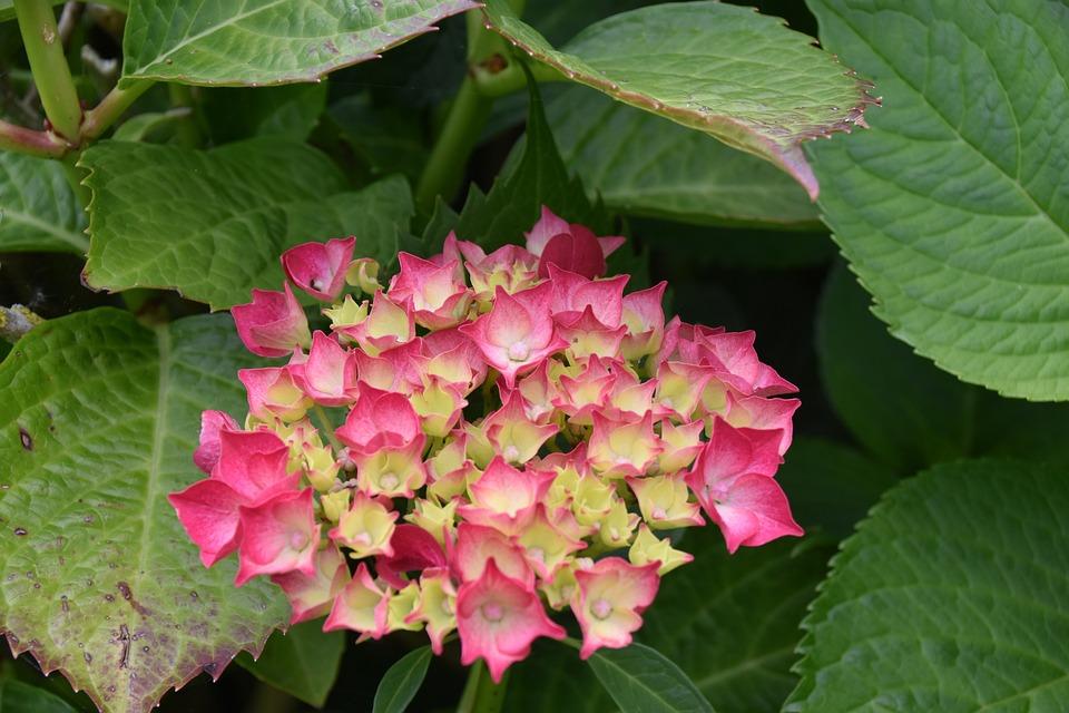 Flower, Flower Hydrangea, Plant, Flora, Botany