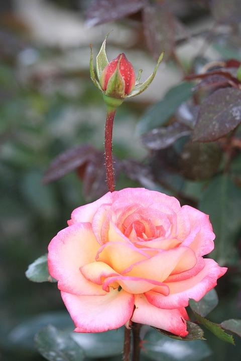 Rose, Flower, Roses, Nature, Bloom, Blossom, Bouquet