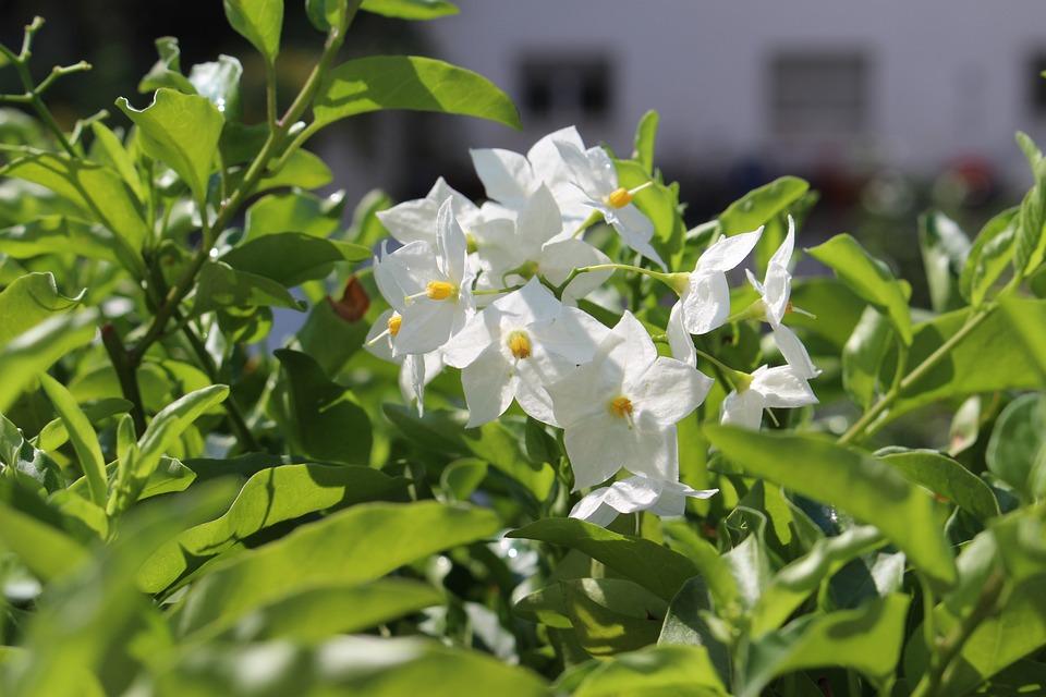 Jasmin, Balcony, Flower Box