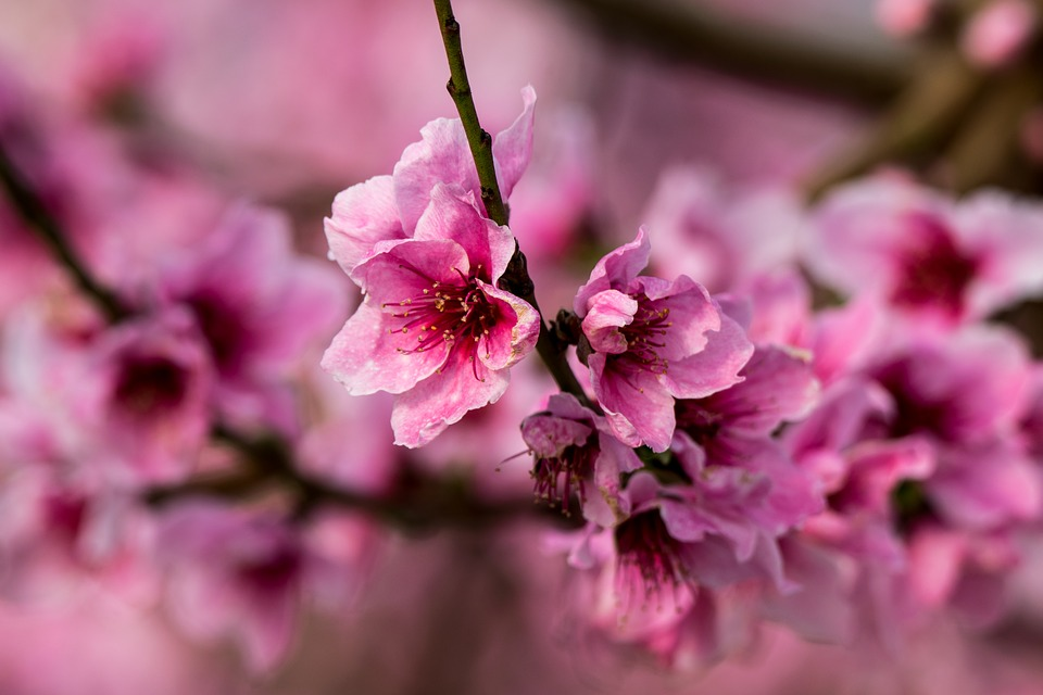 Flower, Plant, Branch, Nature, Petal, Flowering, Tree