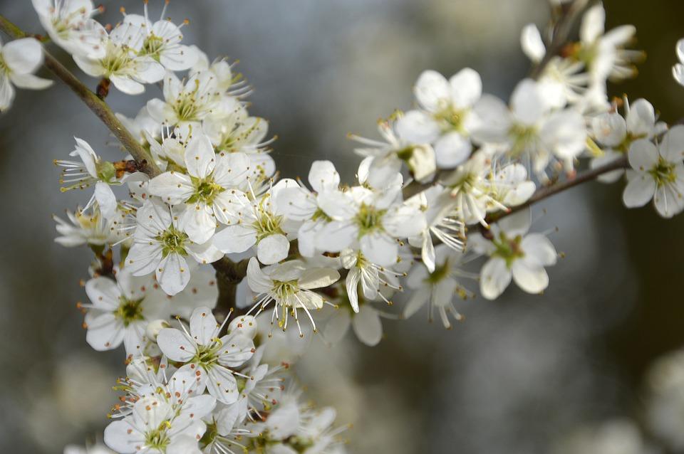 Flower, Cherry, Branch, Plant, Nature, Tree