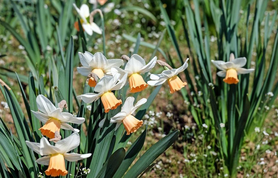 Osterglocken, Flower, Flowers, Bright, Spring, Nature