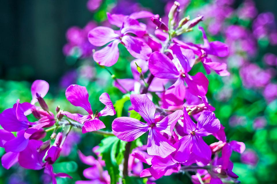 Begonia, Flower, Ocimum Begonia, Bright, Bedding Plant