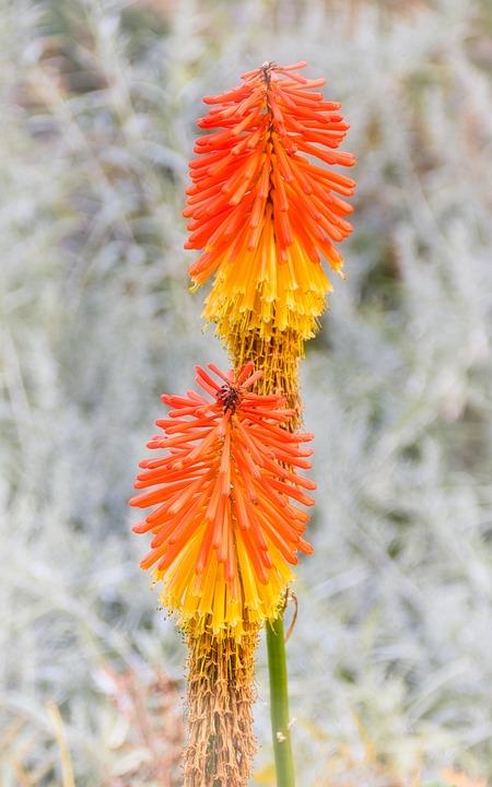 Flowers, Bright, Flower, Nature, Rocket Flowers