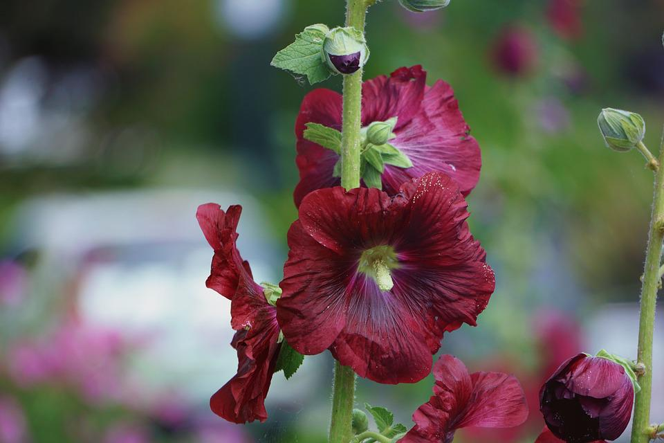 Flower, Hollyhock, Summer, Nature, Brightly Colored