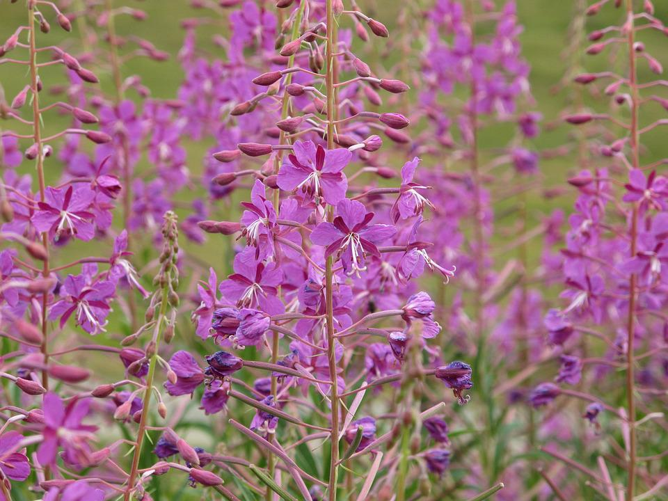 Fireweed, Flower, Pink, Mountain, Brittany