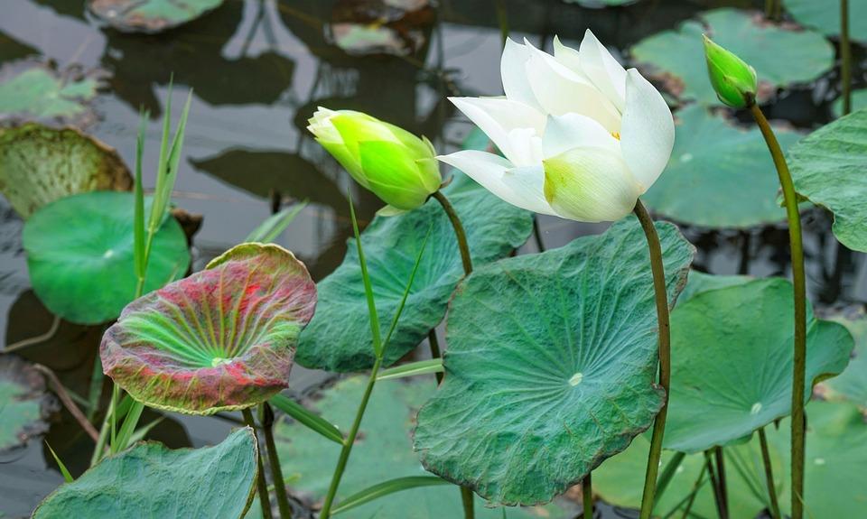 Free photo flower bud lotus aquatic white blooming indian max pixel indian lotus flower bud blooming white aquatic mightylinksfo