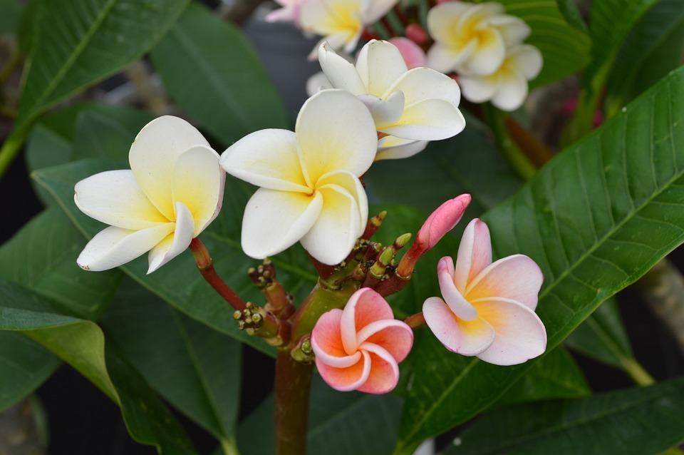 Flower, Plant, Hawaii, Leaves, Bud