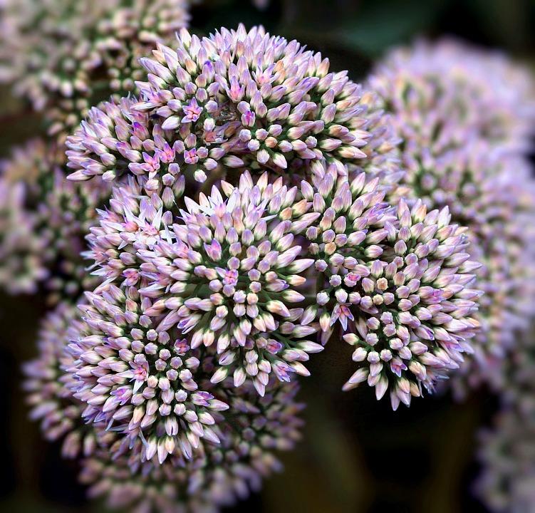 Sedum, Flowers, Fresh, Flower Buds, Floral, Summer