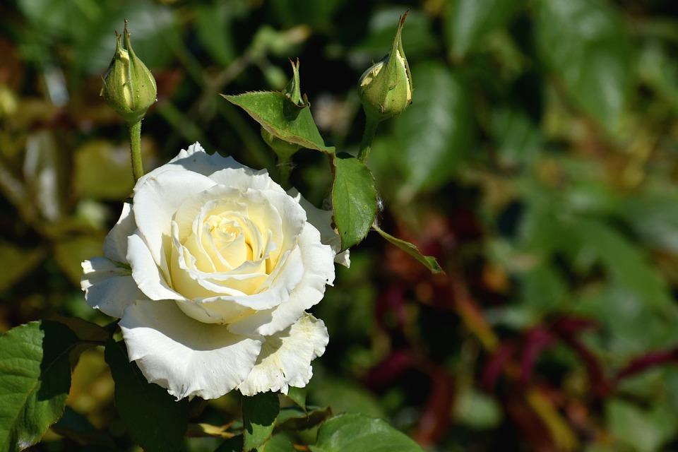 Rose, Flower, Buds, White Rose, White Flower, Petals