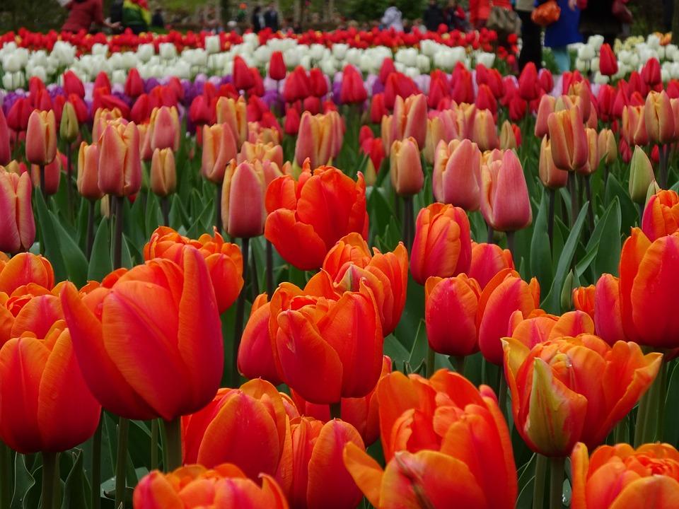 Tulip, Garden, Flower, Flora, Nature, Bulb, Leaf