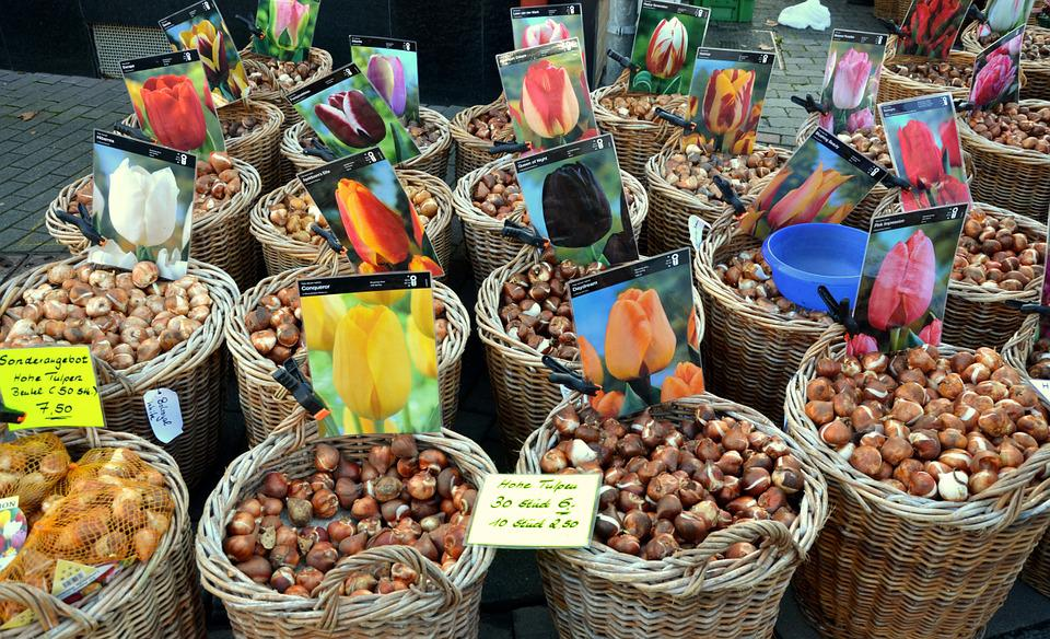 Flower Bulbs, Tulips, Tulip Bulbs, Market, Tubers