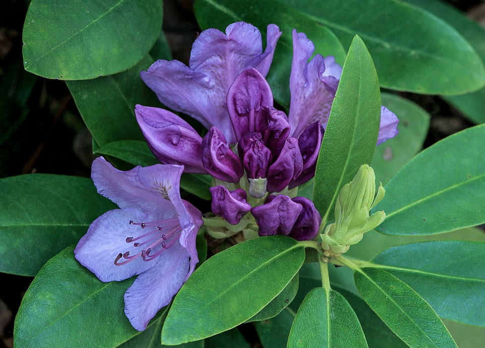 Rhododendron, Flower, Purple, Flower Buds, Shrub, Bush