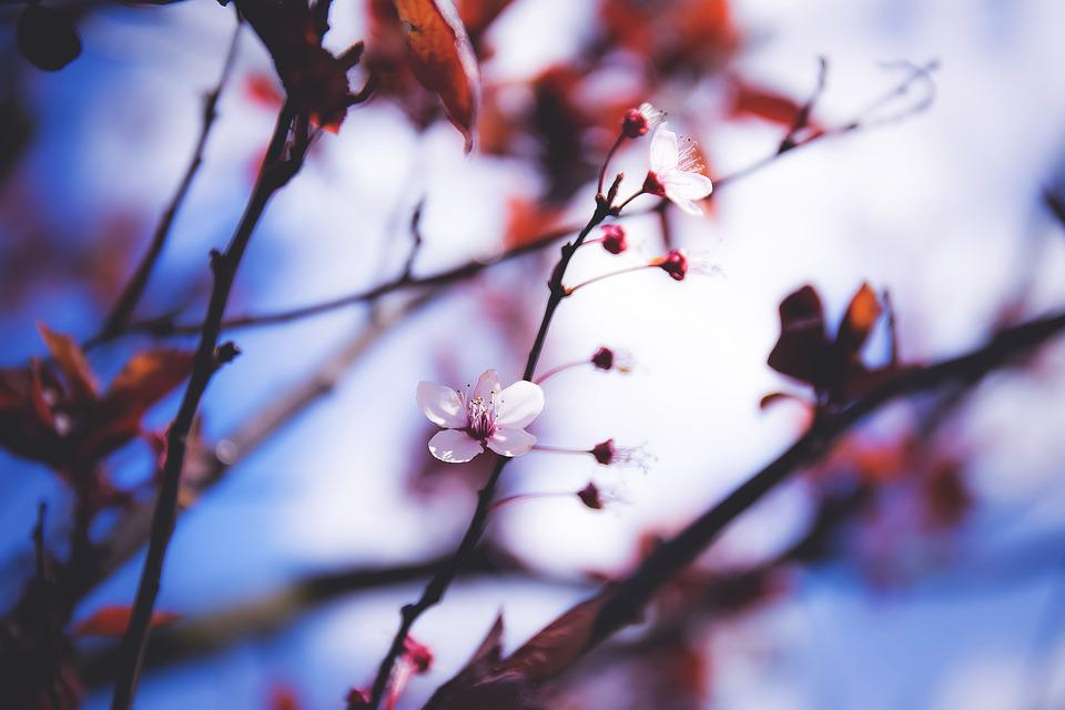 Flower, Nature, Tree, Branch, Cherry, Plant, Bush, Blur