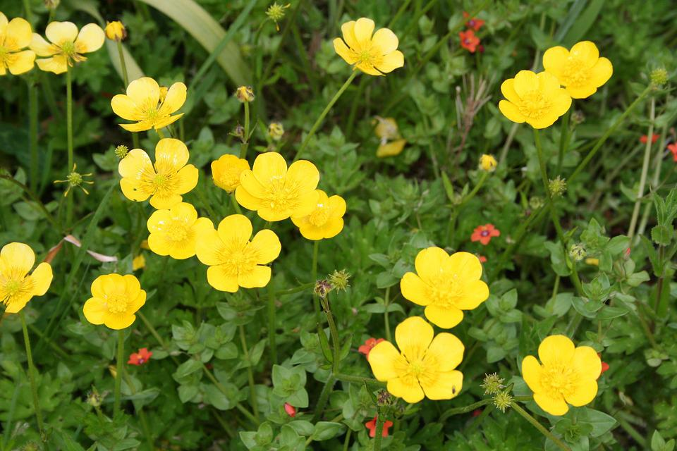 free photo flower buttercup yellow ranunculus - max pixel
