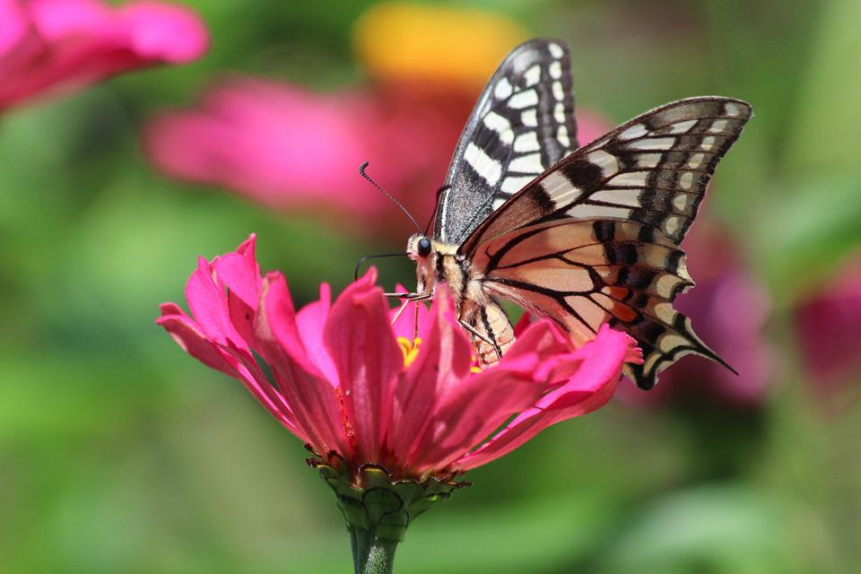 Butterfly, Swallowtail, Insect, Nature, Flower, Bloom