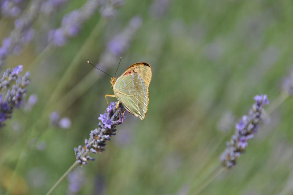 Butterfly, Lavender, Nature, Flowers, Flower