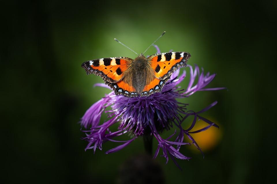 Butterfly, Pollination, Flower, Little Fox