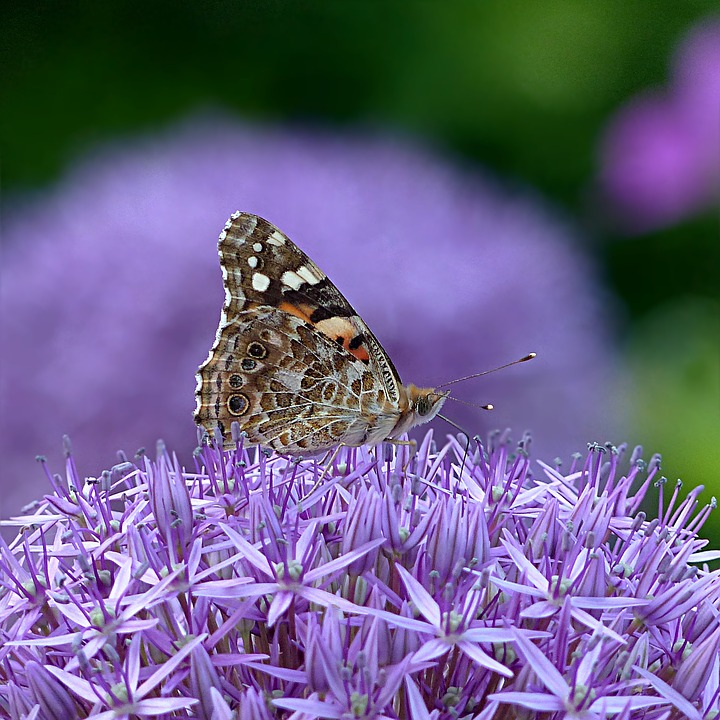 Insect, Butterfly, Summer, Flower