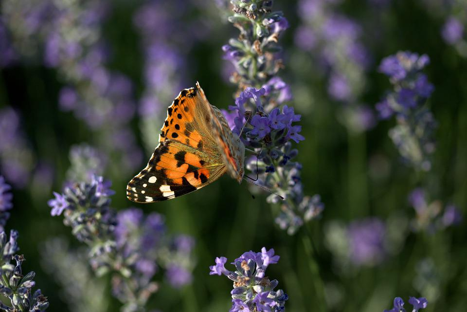 Butterfly, Lavender, Insecta, Flower, Supplies, Summer