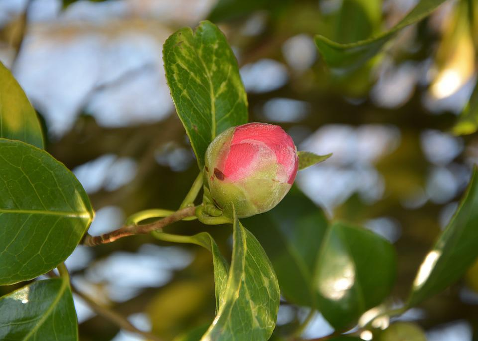 Flower Camellia, Button Flower Camellia, Camellia Pink