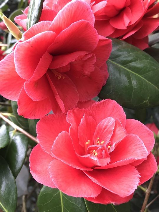 Camellia, Red, Flower, Flora, Nature, Leaf, Rose, Plant