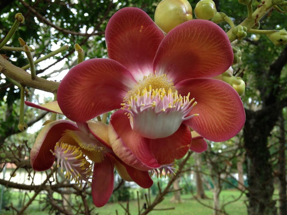 Flower, Cannonball Flower, Pretty Flower