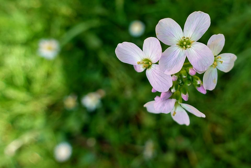 Cuckoo Flower, Card Amines Pratensis, Flower
