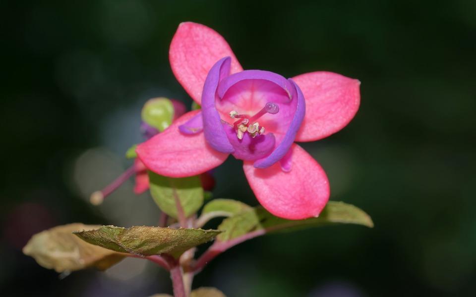 Flower, Cerceluș, Pink, Violet, Mov, Leaves, Green