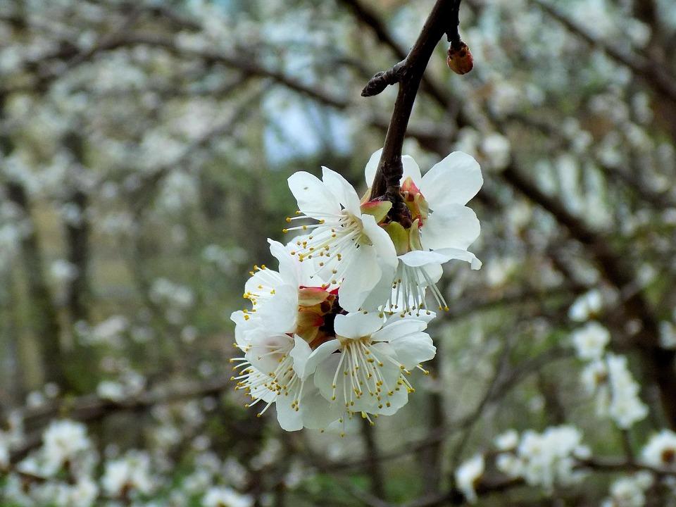 Tree, Flower, Branch, Cherry, Nature
