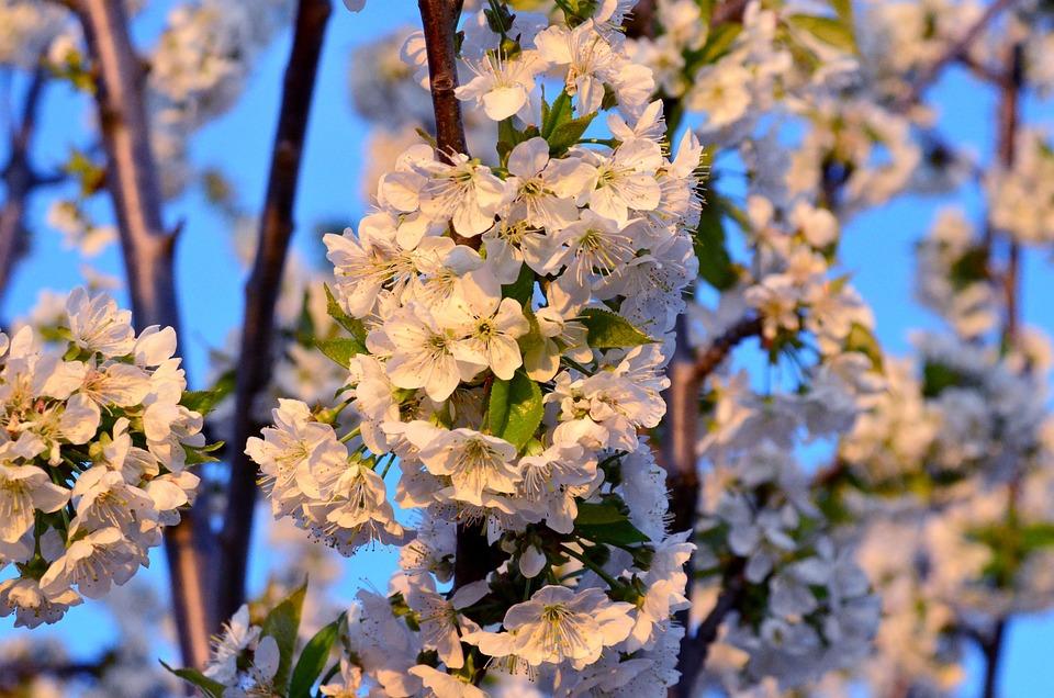Flower, Spring, Spring Flowers, Cherry