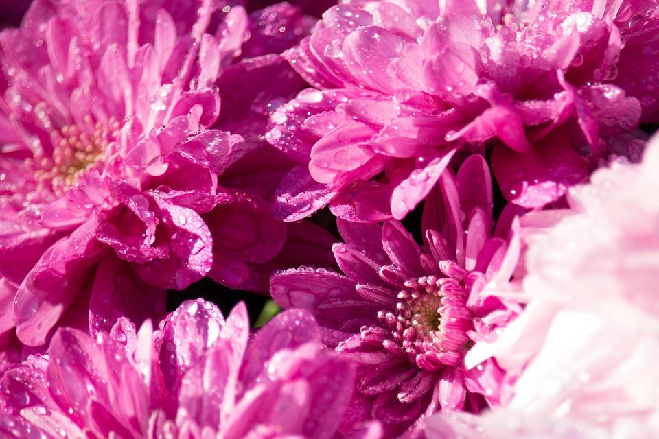 Chrysanthemums, Flowers, Chrysanthemum, Autumn, Flower