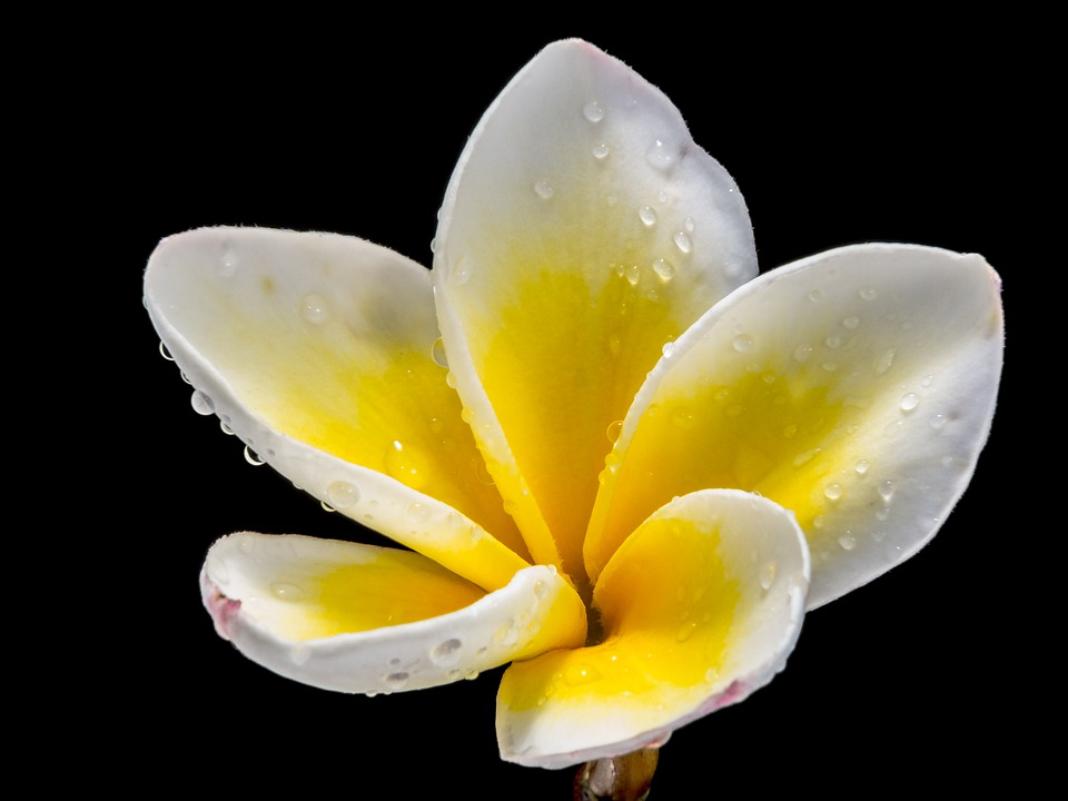 Flower, Blossom, Bloom, White Yellow, Close, Frangipani