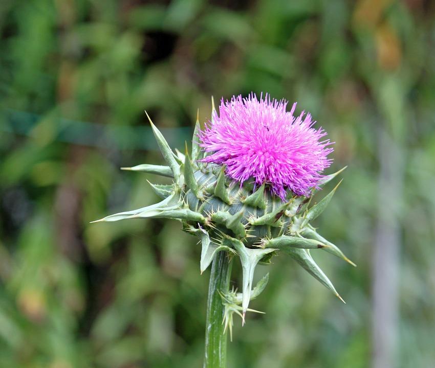 Close, Plant, Flower, Garden Plant, Purple, Blossom