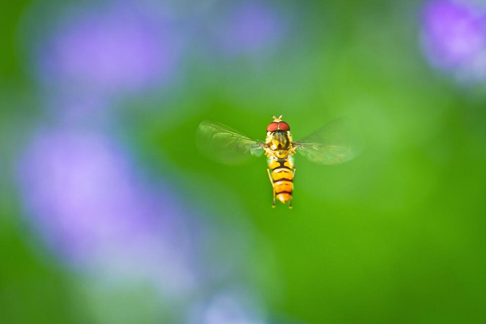 Hoverfly, Macro, Close, In Flight, Fly, Flower, Blossom