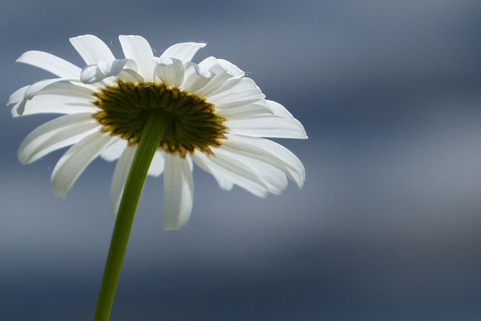Daisy, Flower, Wild Flower, Meadow, Close-up, Nature