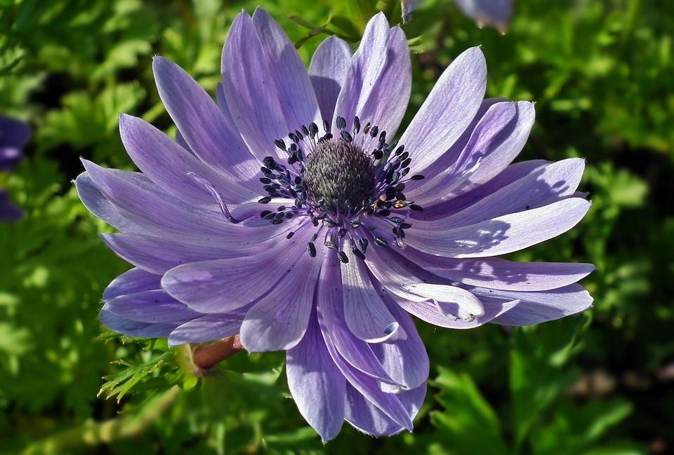 Nature, Flower, Anemone, Plant, Summer, Garden, Closeup