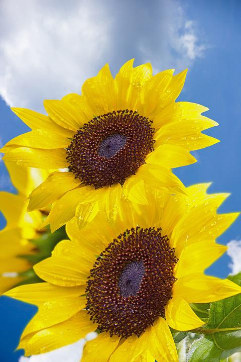 Sunflower, Flower, Air, Clouds, Background, Blue Sky