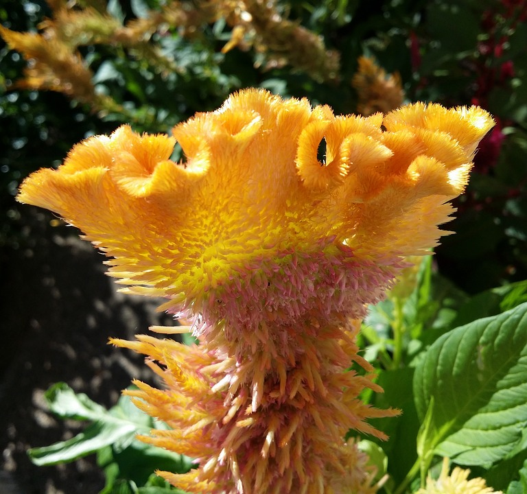 Celosia, Flower, Rooster Head, Cockscomb, Weird Flower