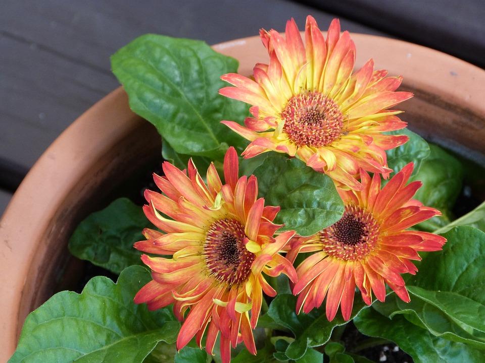 Gerbera Daisy, Flower, Daisy, Gerbera, Color, Bloom