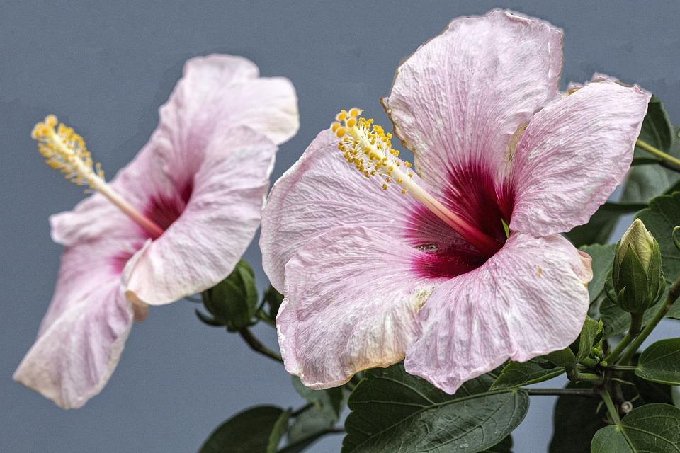 Flower, Color Pink, Macro, Nature, Garden, Petals
