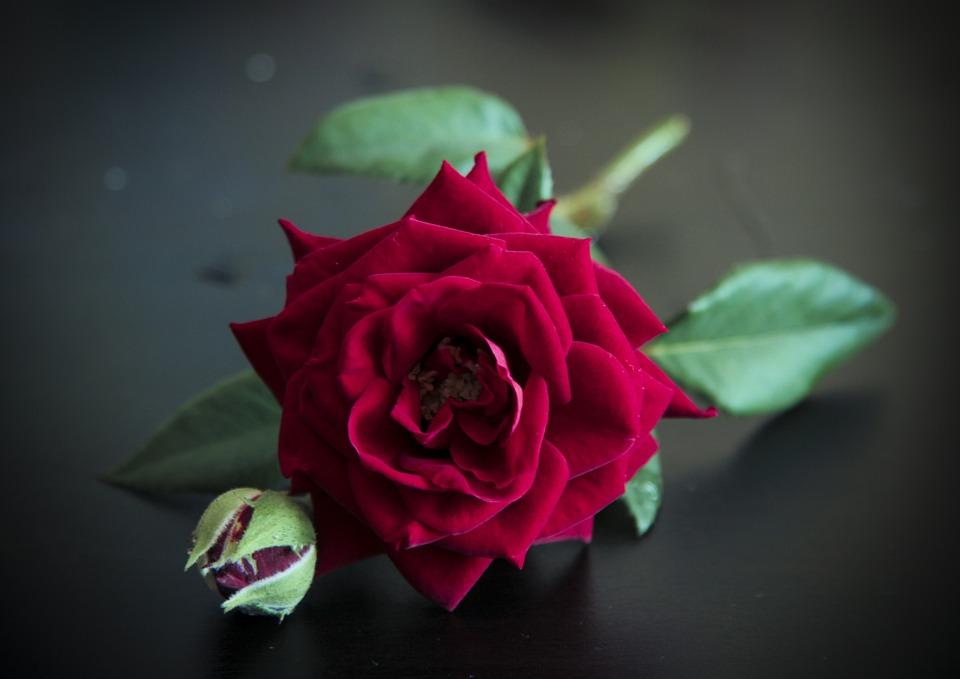 Rose, Flower, Red, Nature, Plants, Petals, Color, Flora